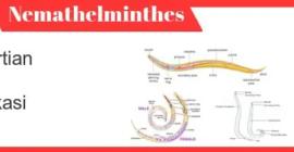 Nemathelminthes-definisi-properti-klasifikasi-peran-contoh